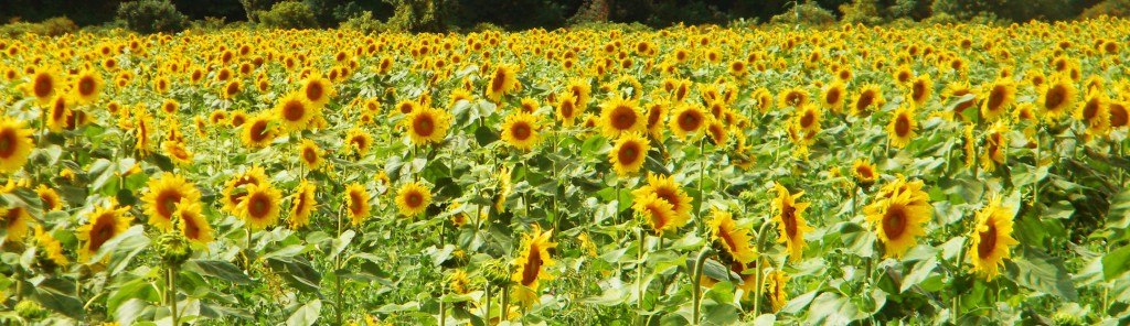 sunflower field panoramic